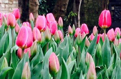 Tulips in Istanbul